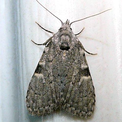 Meganola phylla - Coastal Plain Meganola Moth?  - Meganola sp-one
