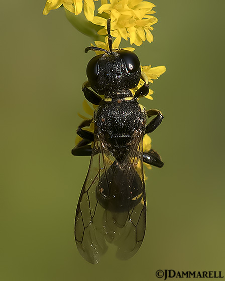 Square-headed Wasp on Goldenrod - Lestica