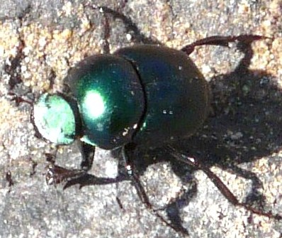 smooth green dung beetle? - Canthon indigaceus