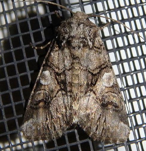 Owlet moth May 28 - Hadena capsularis