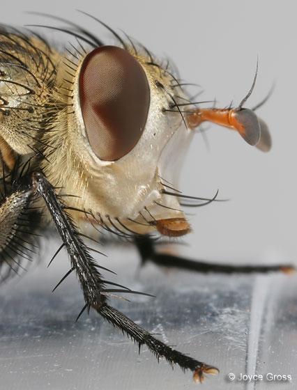 fly - Archytas apicifer - female