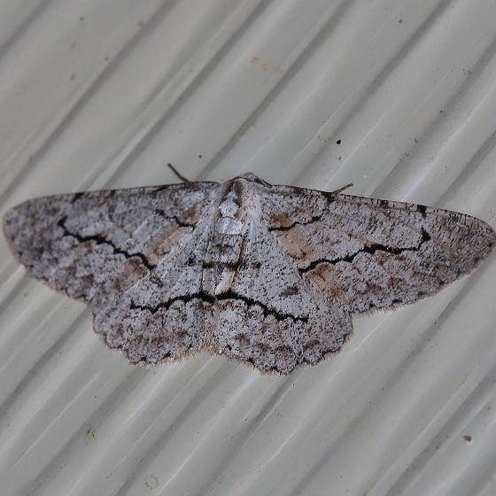 Moth - Stenoporpia pulmonaria