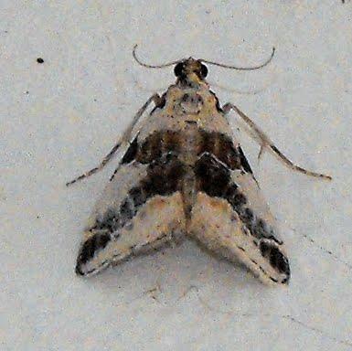 black and white mystery moth - Tallula fieldi