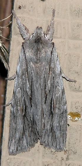 Moth - PB155121 - Lithophane lemmeri