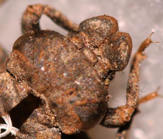 Least Clubtail exuvia antennae - Stylogomphus albistylus