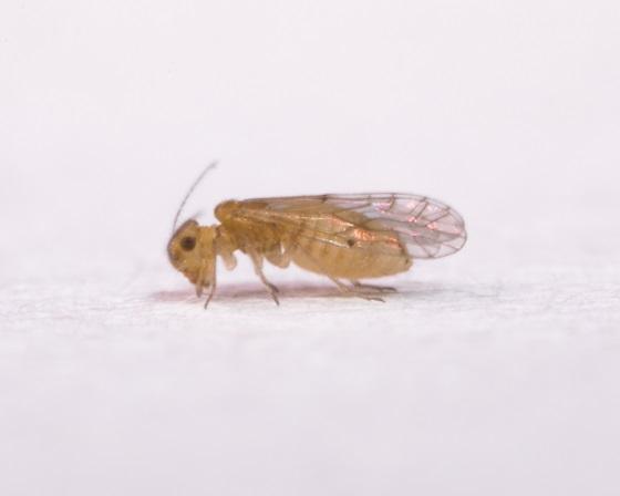 Lachesilla yucateca - female