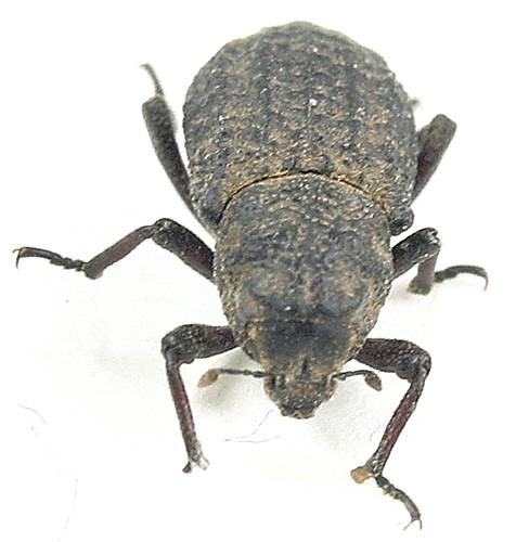 Darkling beetle like - ? - Thecesternus humeralis