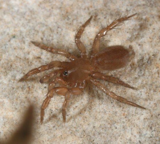 tiny Mygalomorph - Hexurella