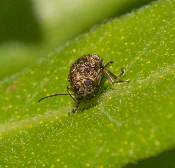 beetle sp. - Pachybrachis