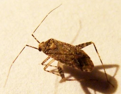 Mirid Bug - Phytocoris