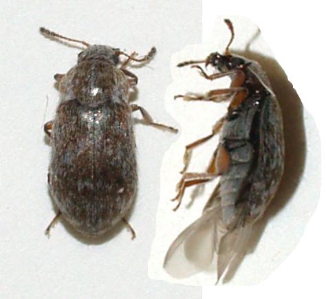 Beetles on oak - Xerasia grisescens