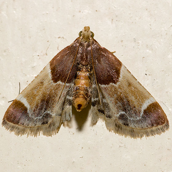 Meal Moth - Pyralis farinalis