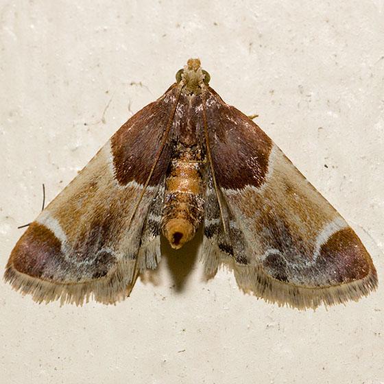 Meal Moth - Pyralis farinalis - BugGuide.Net - photo#48