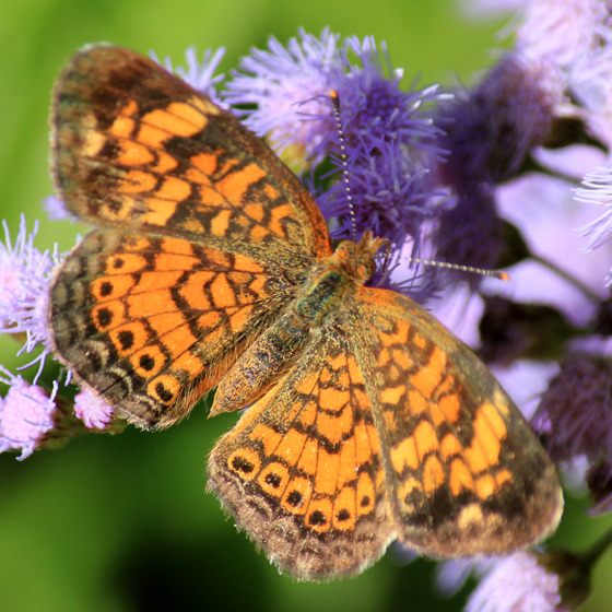 Sorry this is all I got! - Phyciodes tharos