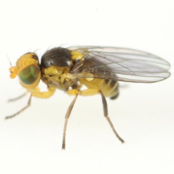 Liriomyza triodanidis - male