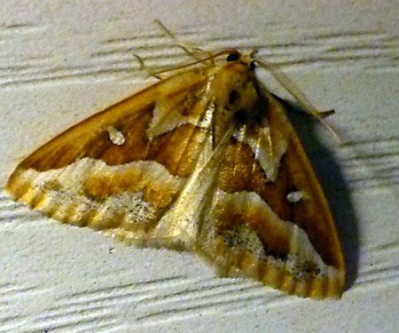 gold yellow moth - Caripeta angustiorata - male