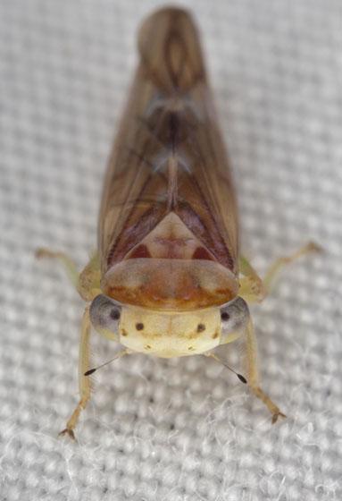 Leafhopper IMG_0684 - Idiocerus formosus