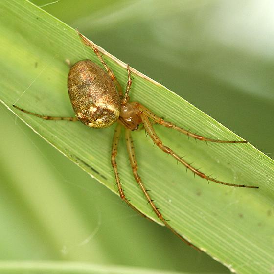 Orb Weaver - Metellina segmentata - female