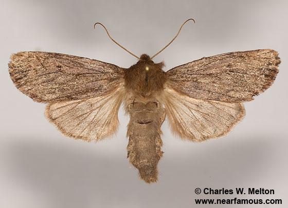 Ufeus satyricus - female