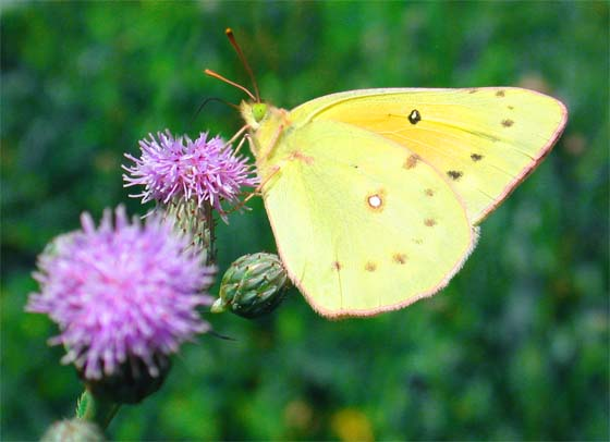 Which Sulfer? - Colias eurytheme - male