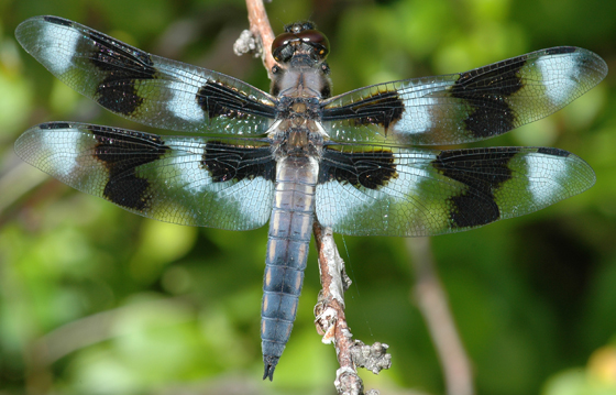 Libellula forensis - male