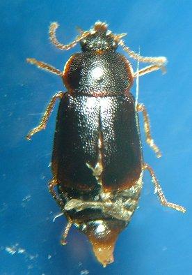 Beetle - Olophrum obtectum