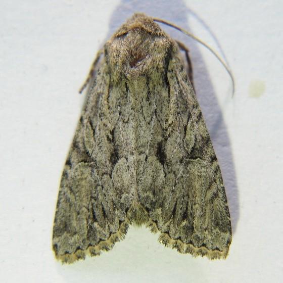 Apamea longula - Hodges #9383 - Apamea longula