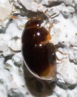 Tiny round beetle - Stilbus