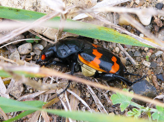 Orange and Black Beetle - Nicrophorus obscurus