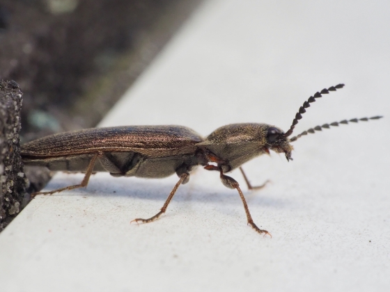 Agriotes sp? - Sylvanelater cylindriformis