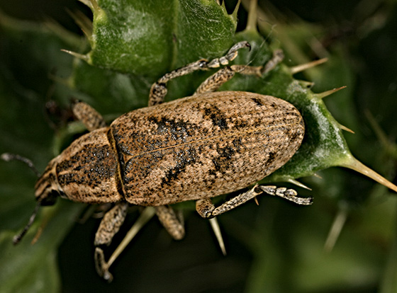 Listronotus ? - Cleonis piger