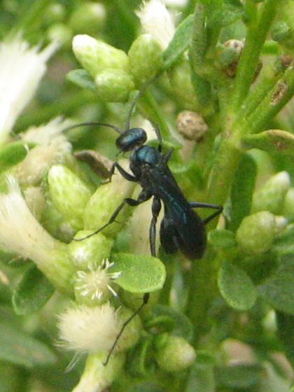 Unidentified wasp (?) on coyote brush (Baccharis pilularis)