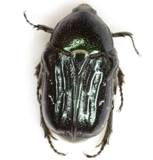 Euphoria sepulcralis (Fabricius) - Euphoria sepulcralis
