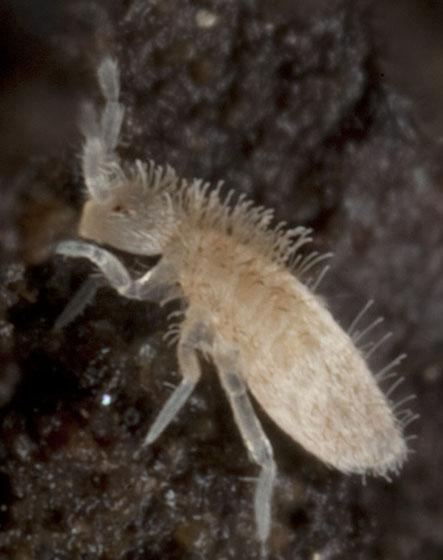 Springtail IMG_7719 - Sinella curviseta