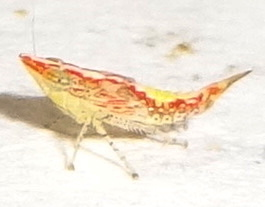 Planthopper. ? - Scaphytopius