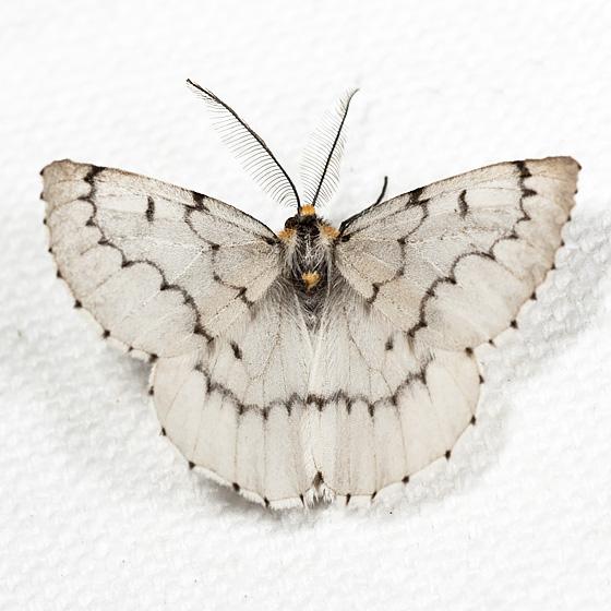 Chain-dotted Geometer - Hodges#6898 - Cingilia catenaria - male