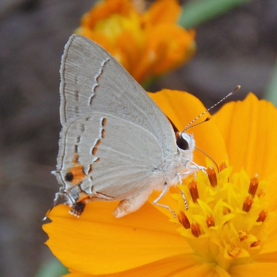 small wite wing butterfly on comsmos bipinnatus - Strymon melinus
