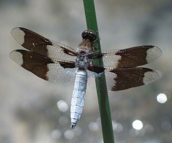 Common Whitetail - Plathemis lydia - male
