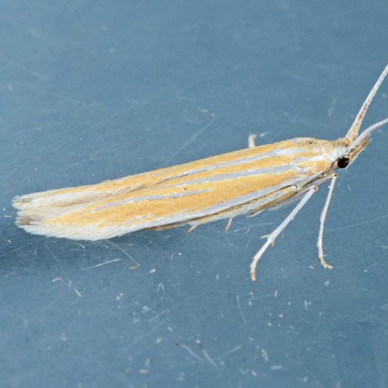 Moth for ID  - Coleophora acamtopappi