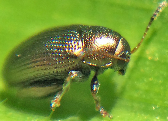 Small beetle (Chaetocnema sp.?)