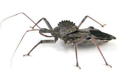 Sail-back Dinosaur Bug (Wheel Bug) - Arilus cristatus
