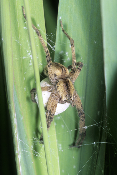 Spider - Pisaurina mira - female