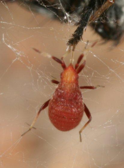 Red bug - Ranzovius