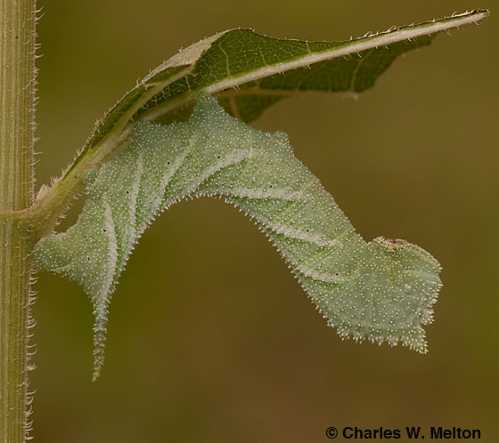 Manduca muscosa larva - Manduca muscosa