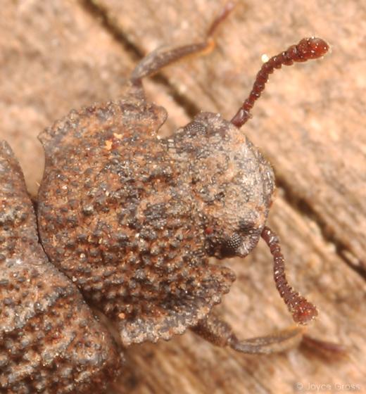 teneb - Megeleates sequoiarum