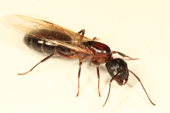 winged carpenter ant - Camponotus - BugGuide.Net