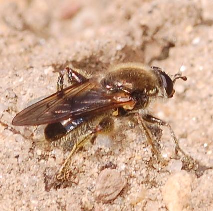 Bee-like fly - Brachypalpus oarus