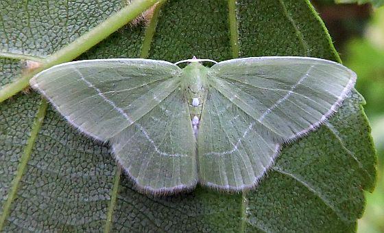 Pennsylvania Moth  - Nemoria mimosaria