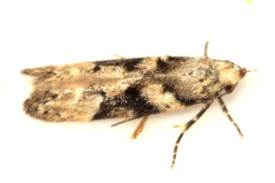 micro moth - Coleotechnites atrupictella