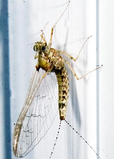 Mayfly in September - Cloeon dipterum - female